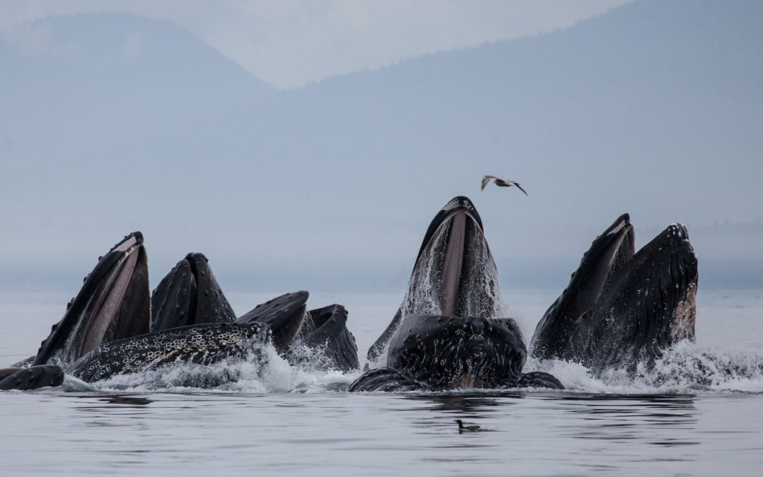 A formidable example of team work in nature: Bubble-net feeding humpback whales off the coast of Alaska.